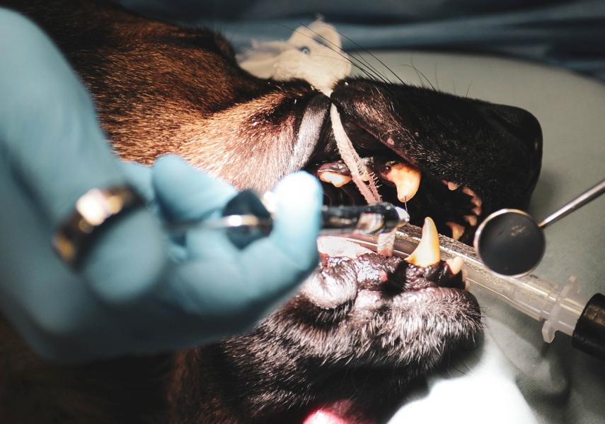Pet Endodontic procedures