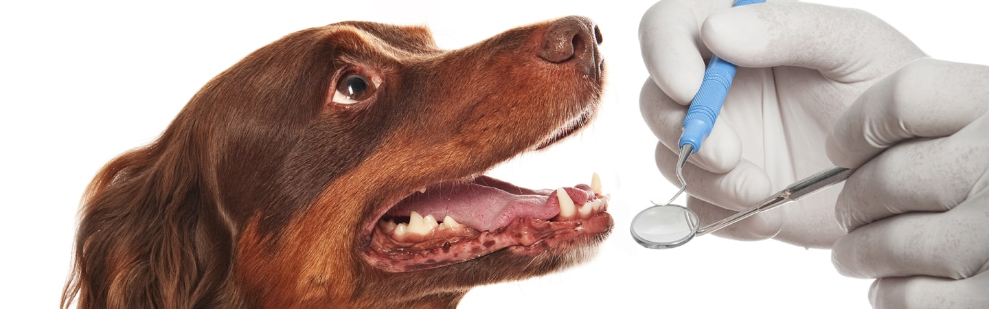 How do you know when your dog and cat needs an anesthetic dental?