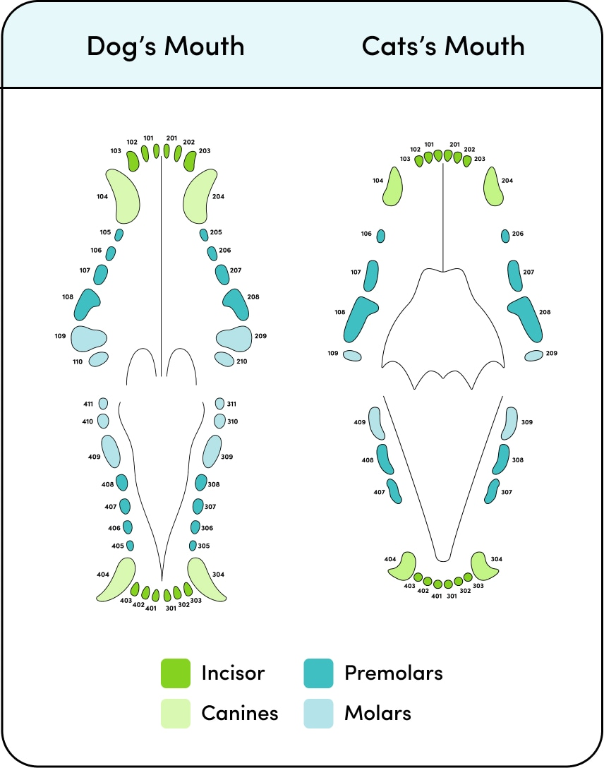 Canine and Feline dental anatomy
