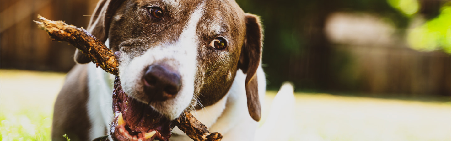 Is Chewing Bad For My Dog's Teeth?